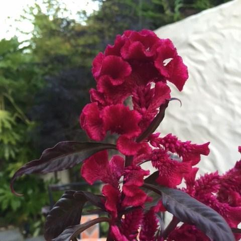 Hervorragend Celosia 'Hot Topic', Celosia 'Hot Topic' in GardenTags plant WX51