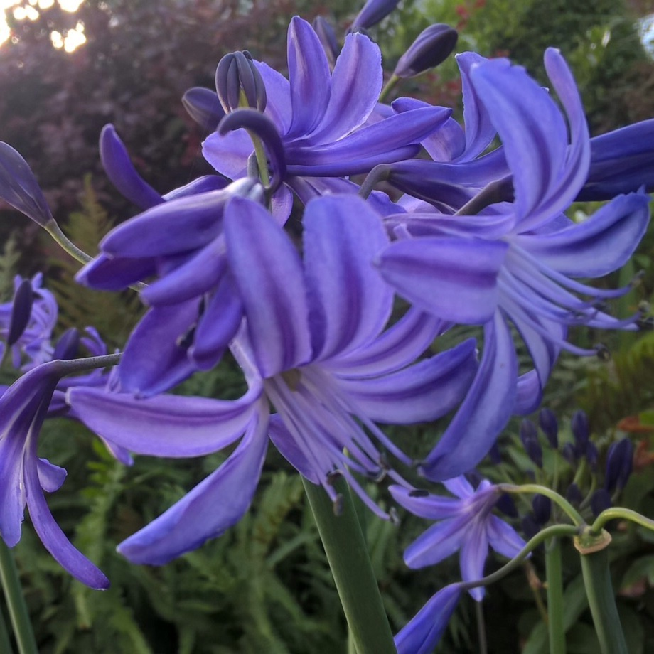 African Lily Northern Star in the GardenTags plant encyclopedia