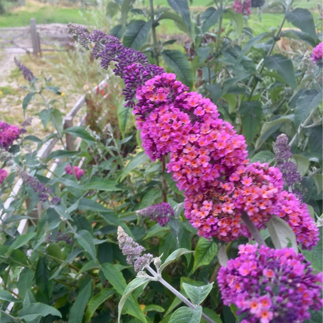 buddleja davidii 39 flower power 39 buddleia 39 flower power in gardentags plant encyclopedia. Black Bedroom Furniture Sets. Home Design Ideas