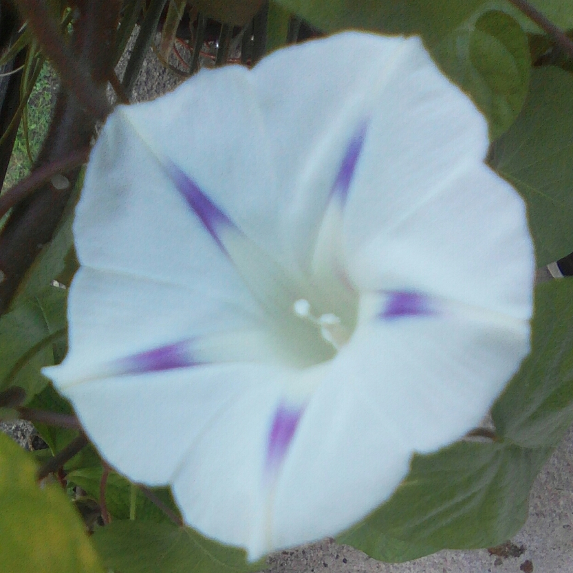 Morning Glory Milky Way in the GardenTags plant encyclopedia