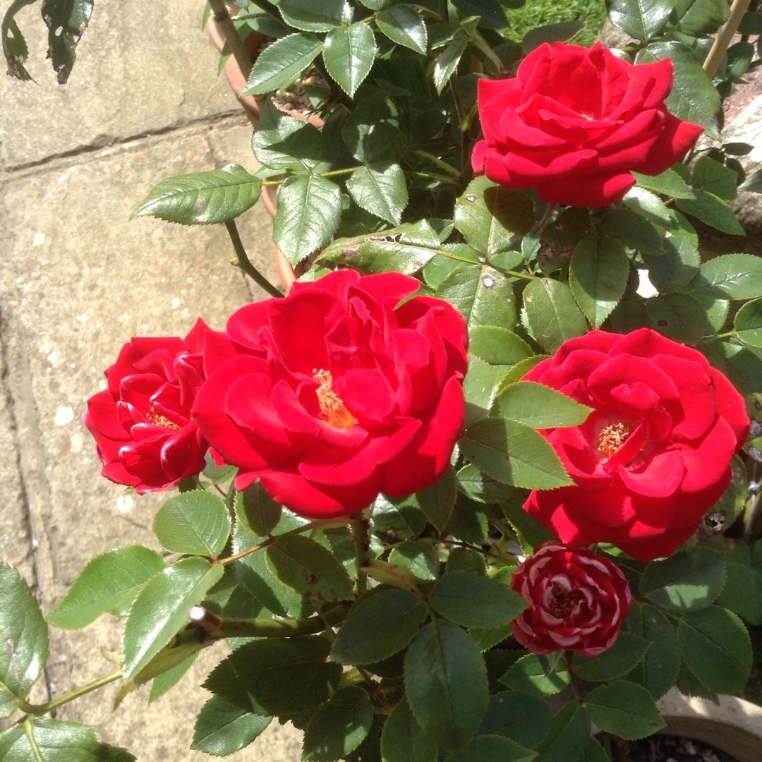 Patio Rose Love Knot Chewglorious in the GardenTags plant encyclopedia