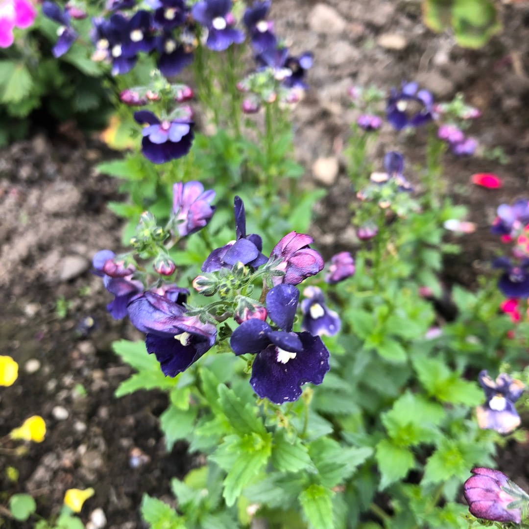 Picture of Live Nemesia Dark Blue aka Nemesia caerulea Plant Fit 1QRT Pot