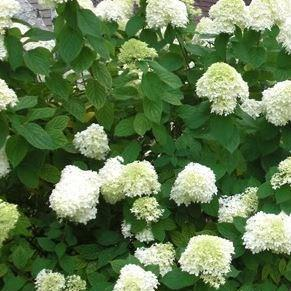 Hydrangea Grandiflora in the GardenTags plant encyclopedia