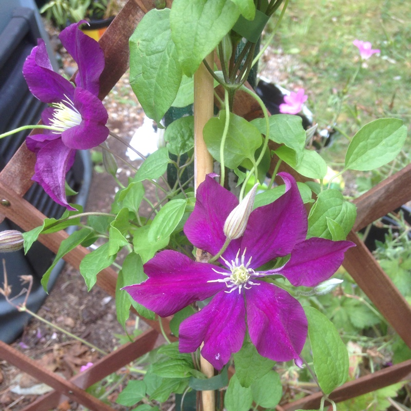 Clematis Warsaw Nike in the GardenTags plant encyclopedia