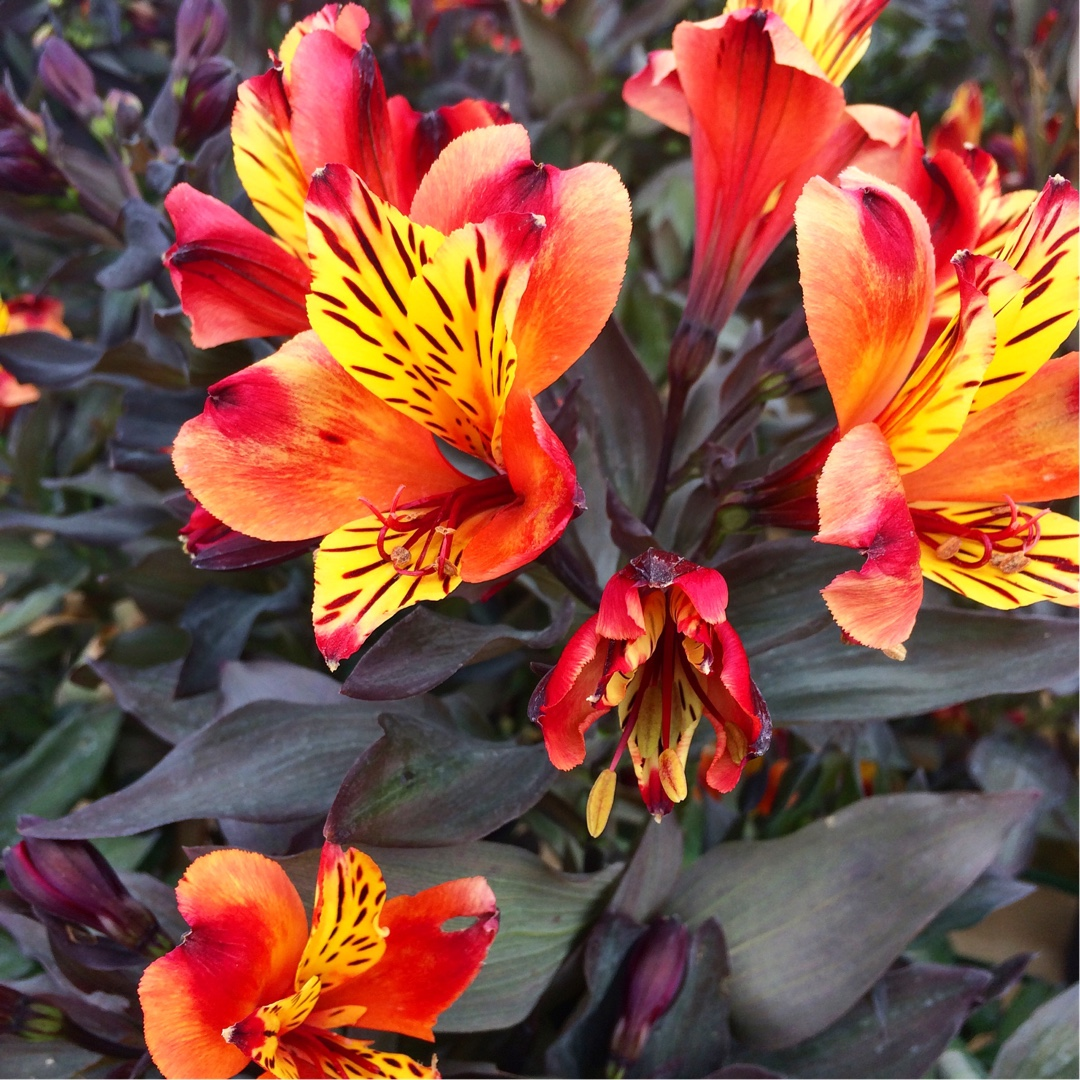 Peruvian Lily Indian Summer in the GardenTags plant encyclopedia