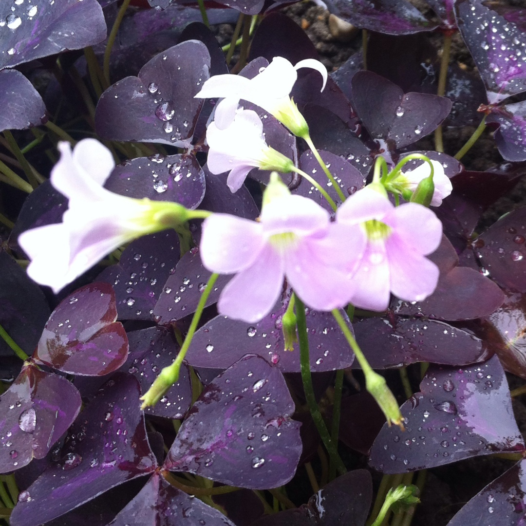 Oxalis Black Velvet in the GardenTags plant encyclopedia