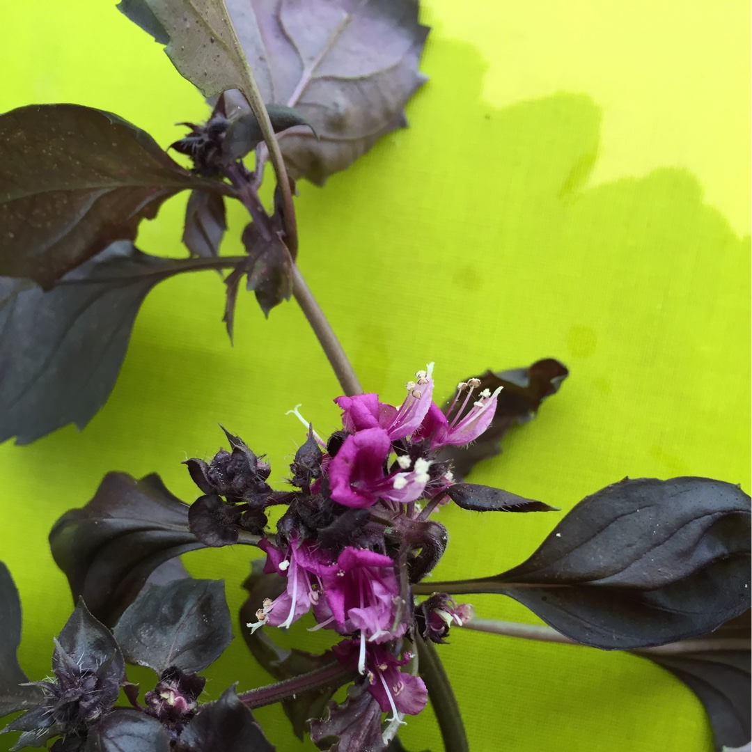 Purple Basil in the GardenTags plant encyclopedia