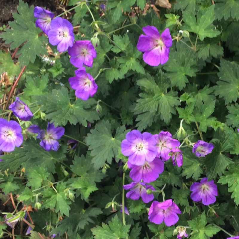 Geranium Rozanne in the GardenTags plant encyclopedia