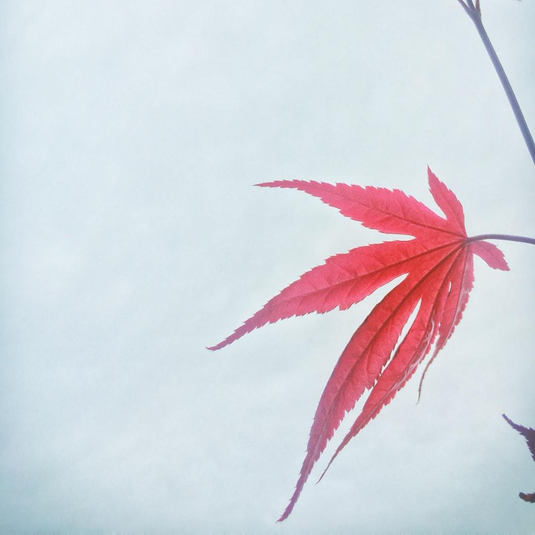Acer Palmatum Fireglow Japanese Maple Fireglow In Gardentags