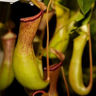 Pitcher plant in the GardenTags plant encyclopedia