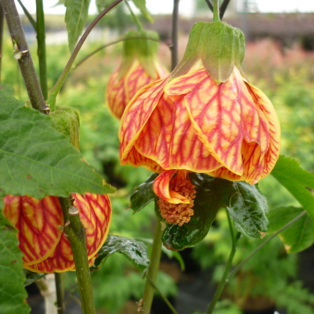 Abutilon Red Tiger Flowering Maple Red Tider In Gardentags