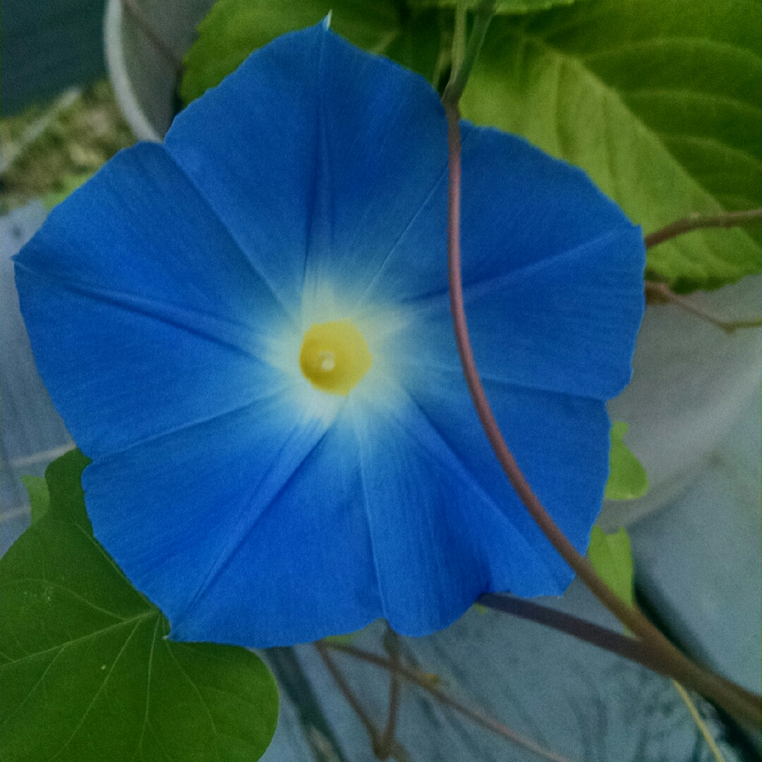 Morning Glory in the GardenTags plant encyclopedia