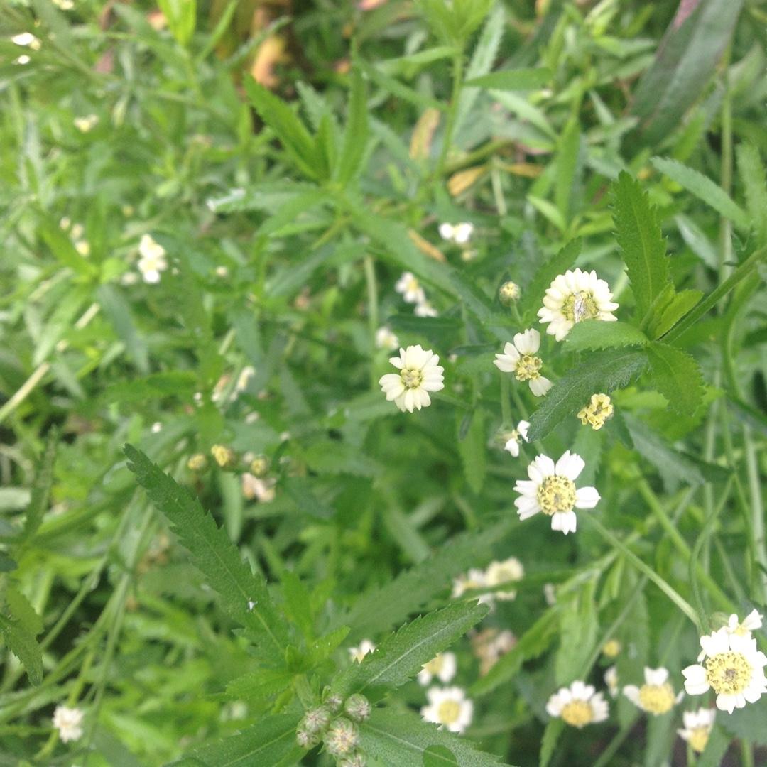 Achillea Ageratum, English Mace in GardenTags plant encyclopedia