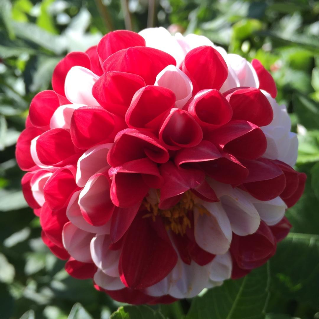 Dahlia War Of The Roses Dahlia War Of The Roses In Gardentags
