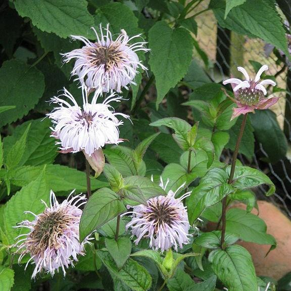 Eastern Bee Balm in the GardenTags plant encyclopedia
