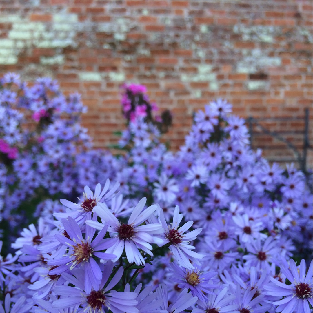 Aster Little Carlow in the GardenTags plant encyclopedia