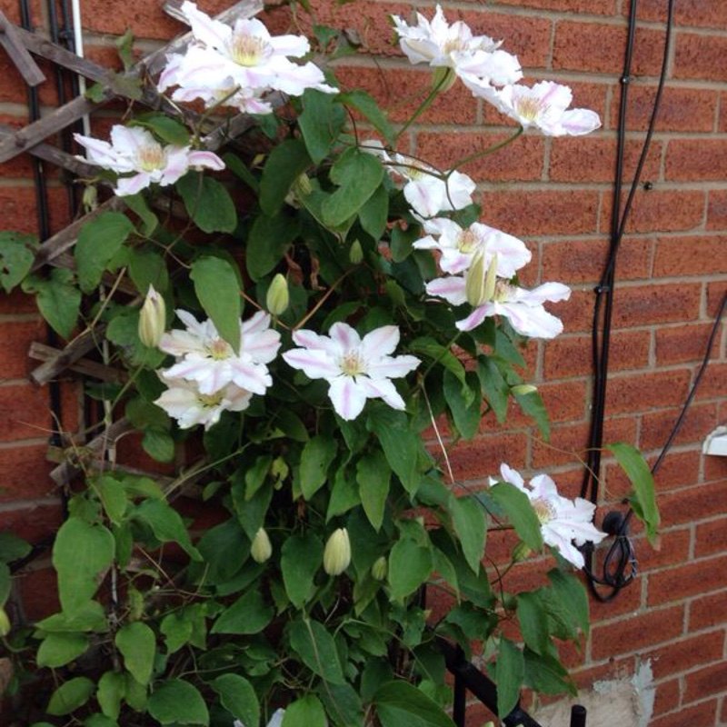 Clematis Andromeda in the GardenTags plant encyclopedia