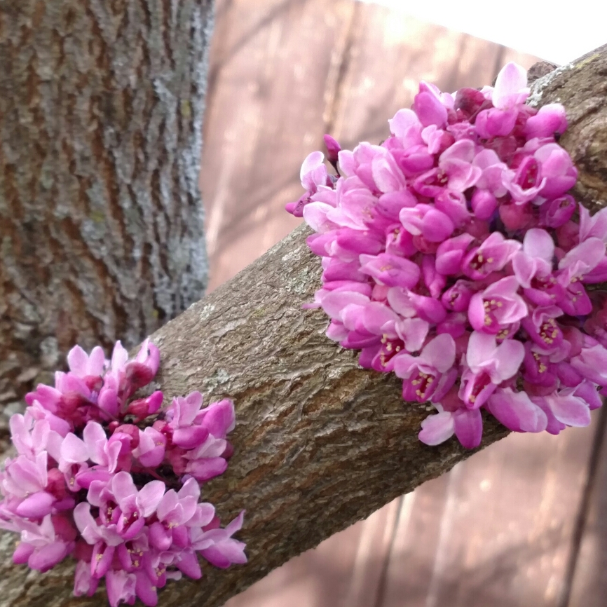 Eastern Redbud in the GardenTags plant encyclopedia