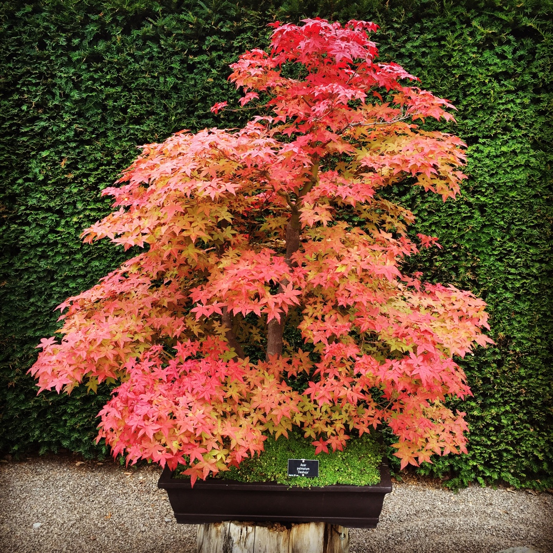Acer Palmatum Deshojo Japanese Maple Deshojo In Gardentags
