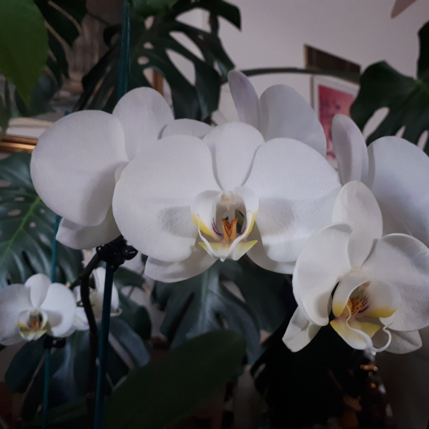 Moth Orchid Multiflora in the GardenTags plant encyclopedia