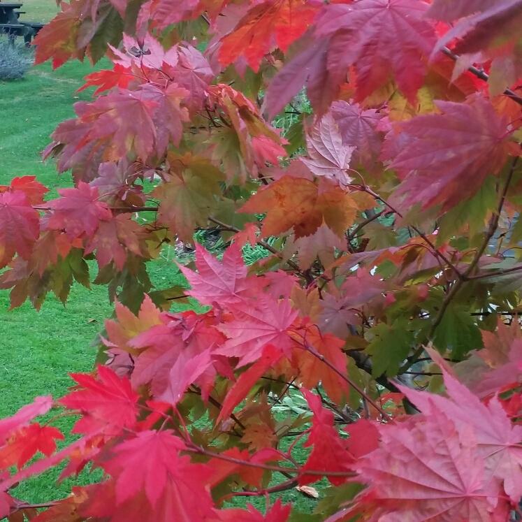 Acer Japonicum Vitifolium Downy Japanese Maple In Gardentags Plant
