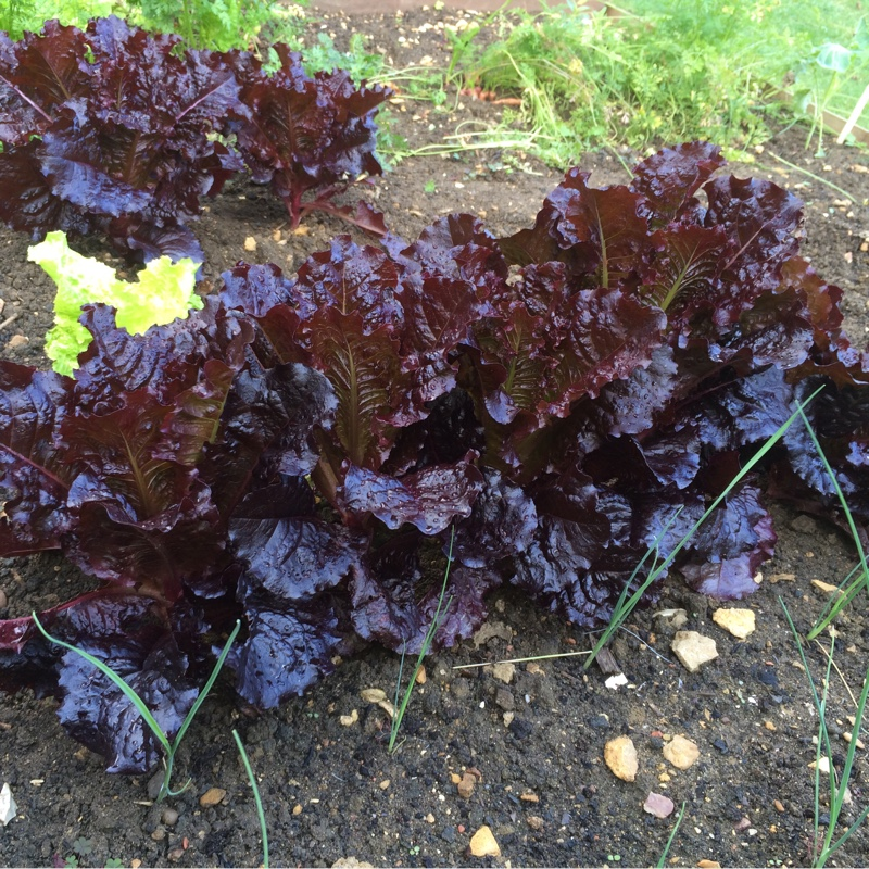 Lettuce Bijou (Leafy/Looseleaf) in the GardenTags plant encyclopedia