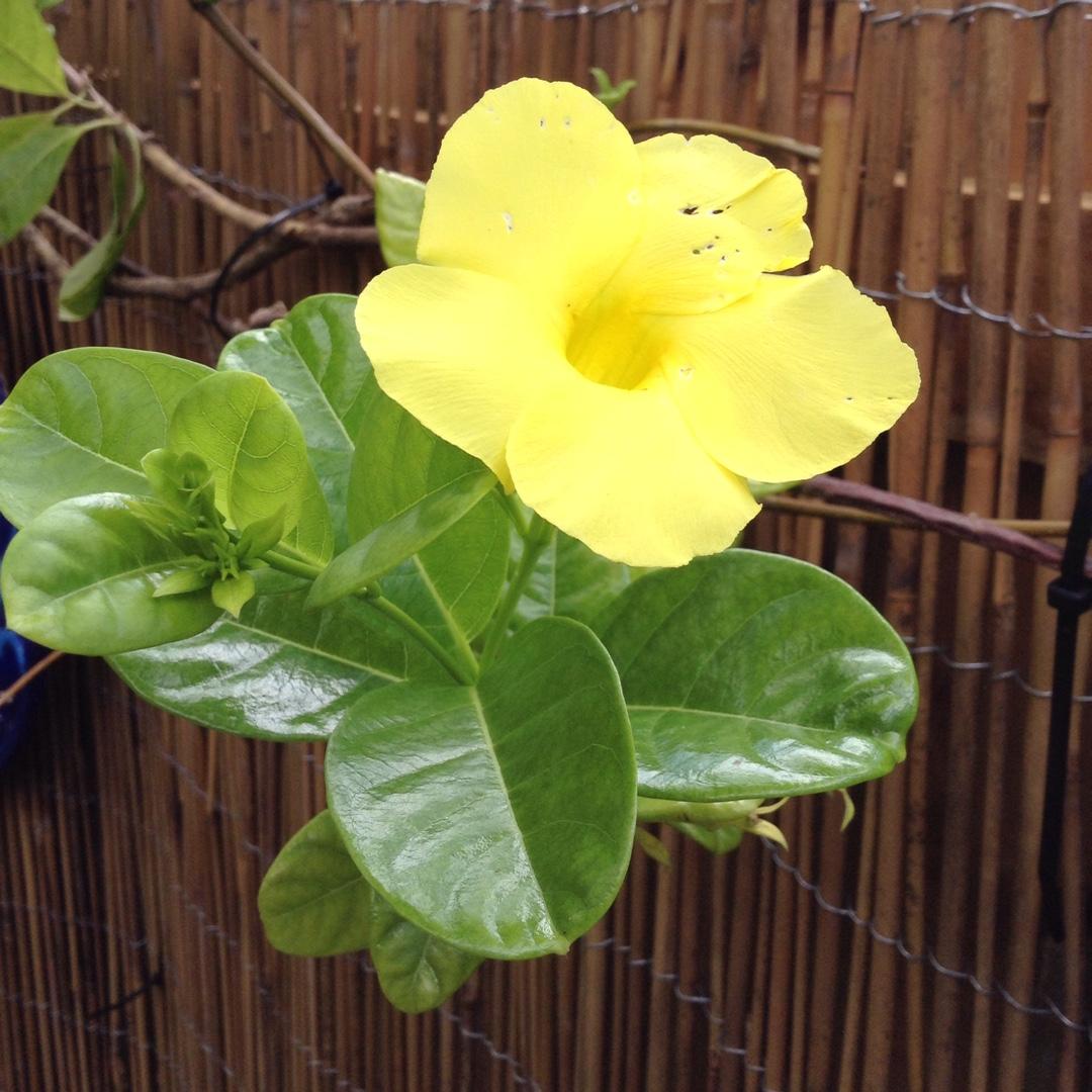 Mandevilla Sundial Mandevilla Vine Sundial In Gardentags Plant