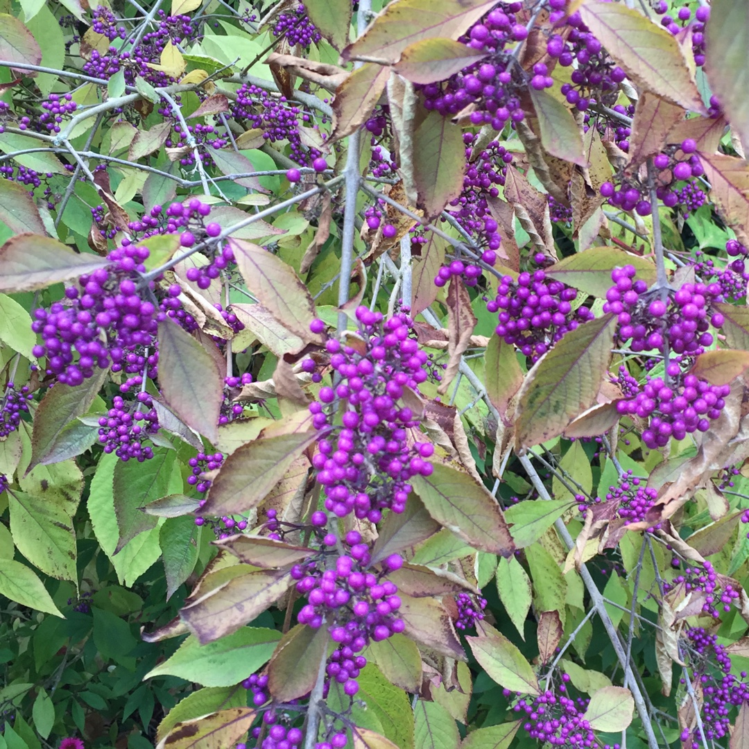 Beautyberry Profusion In The Gardentags Plant Encyclopedia