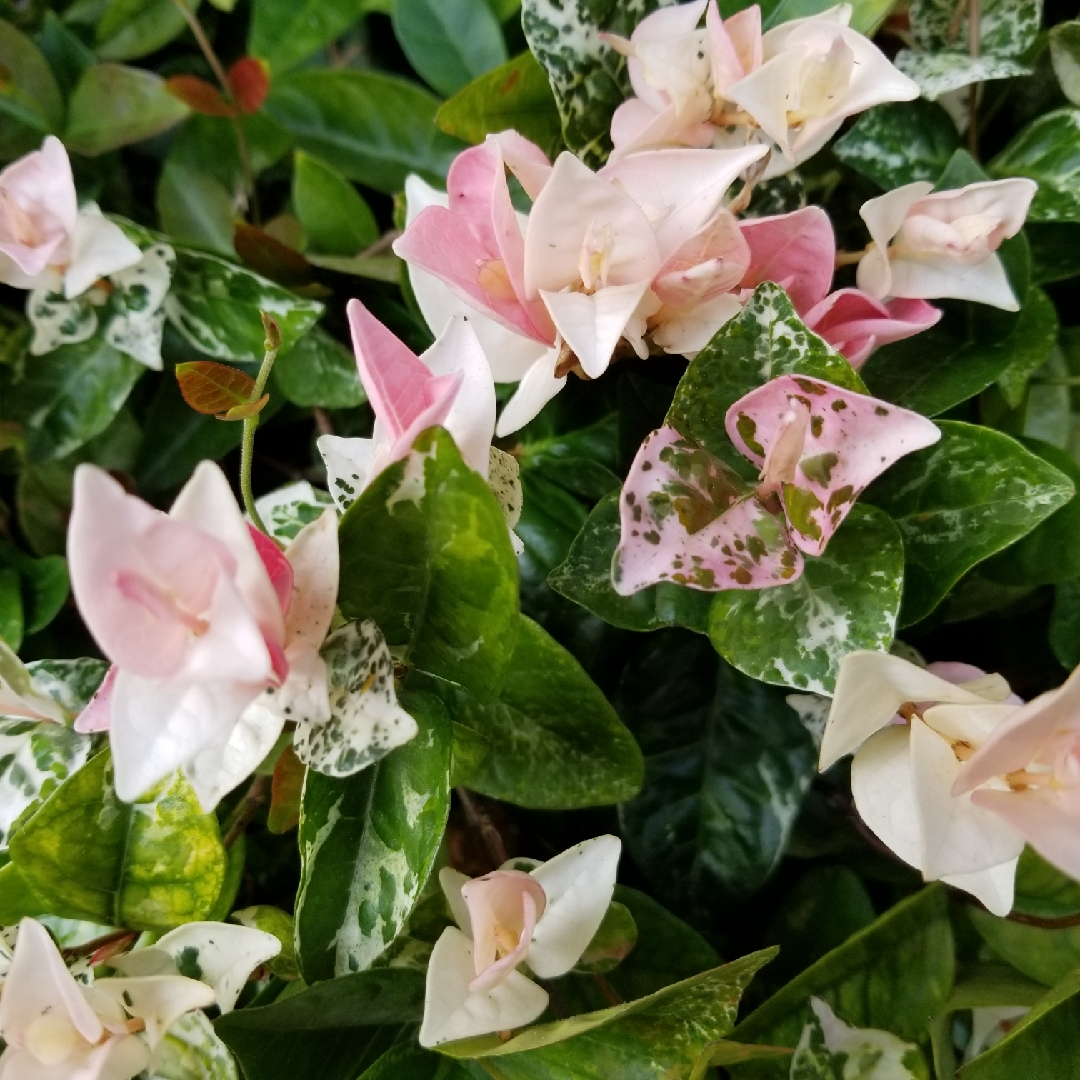 Trachelospermum Jasminoides Tricolour Tricolour Star Jasmine In