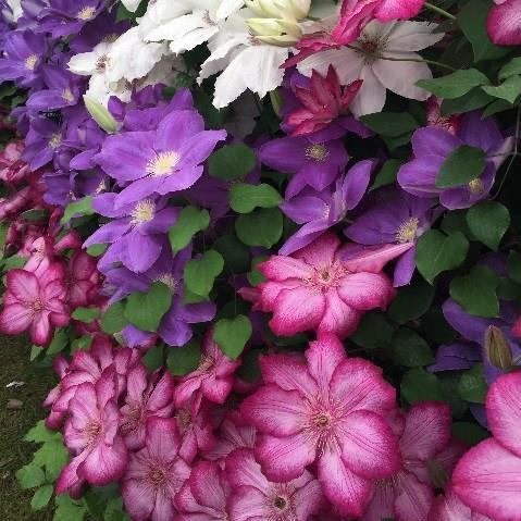 Clematis in the GardenTags plant encyclopedia