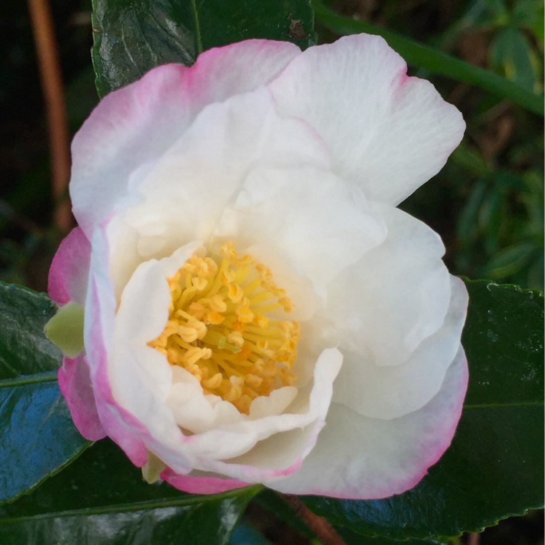 Camellia Sasanqua Paradise Vanessa Camellia Paradise Vanessa In Gardentags Plant Encyclopedia