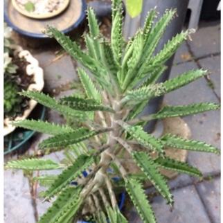 Bryophyllum Delagoense Kalanchoe Mother Of Millions In
