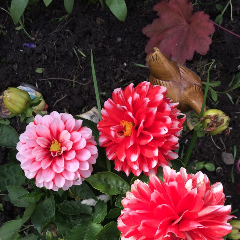 Bedding Dahlia in the GardenTags plant encyclopedia