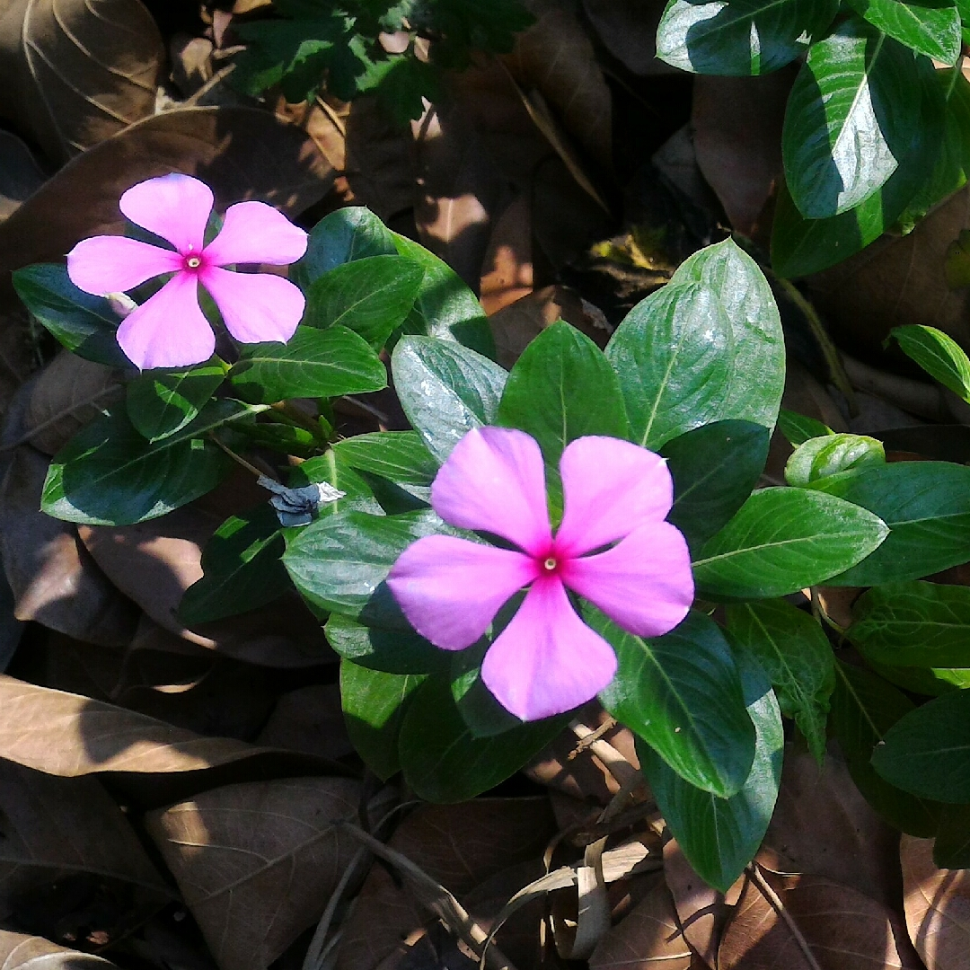 Madagascar Periwinkle in the GardenTags plant encyclopedia