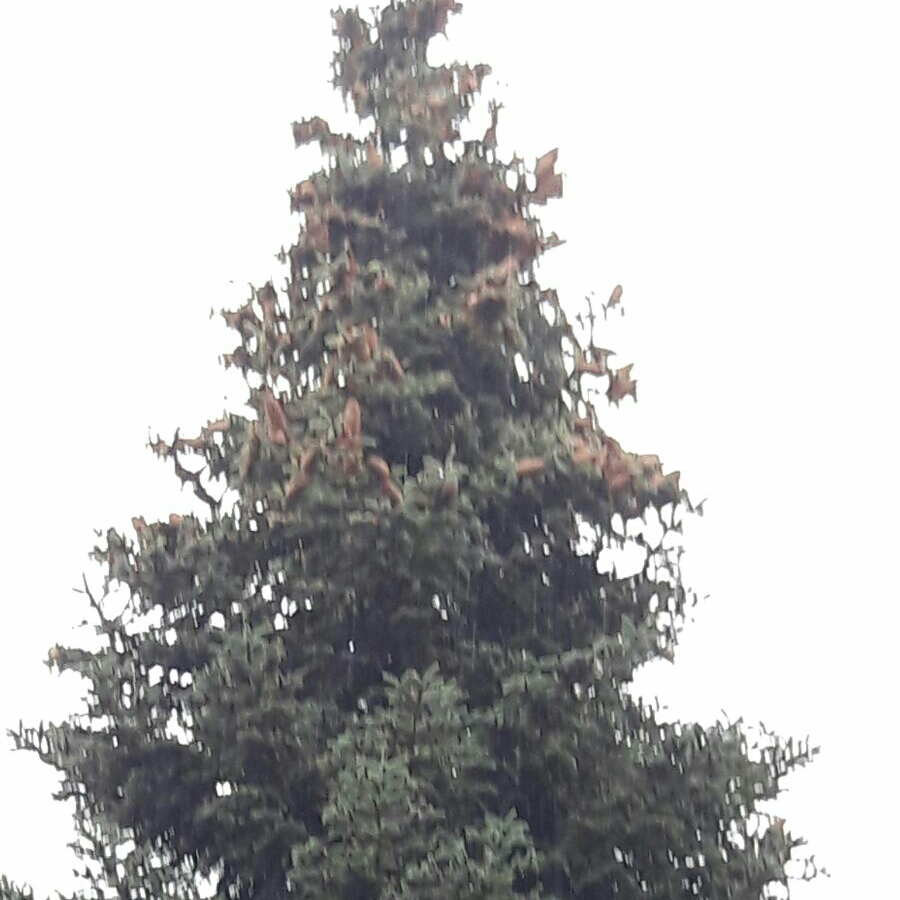 Californian Red Fir Tree in the GardenTags plant encyclopedia