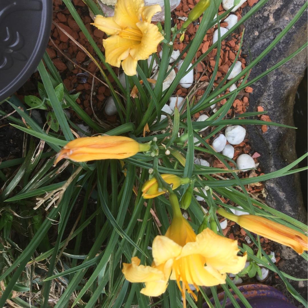 Hemerocallis stella bella dwarf day lily stella bella in dwarf day lily stella bella in the gardentags plant encyclopedia izmirmasajfo