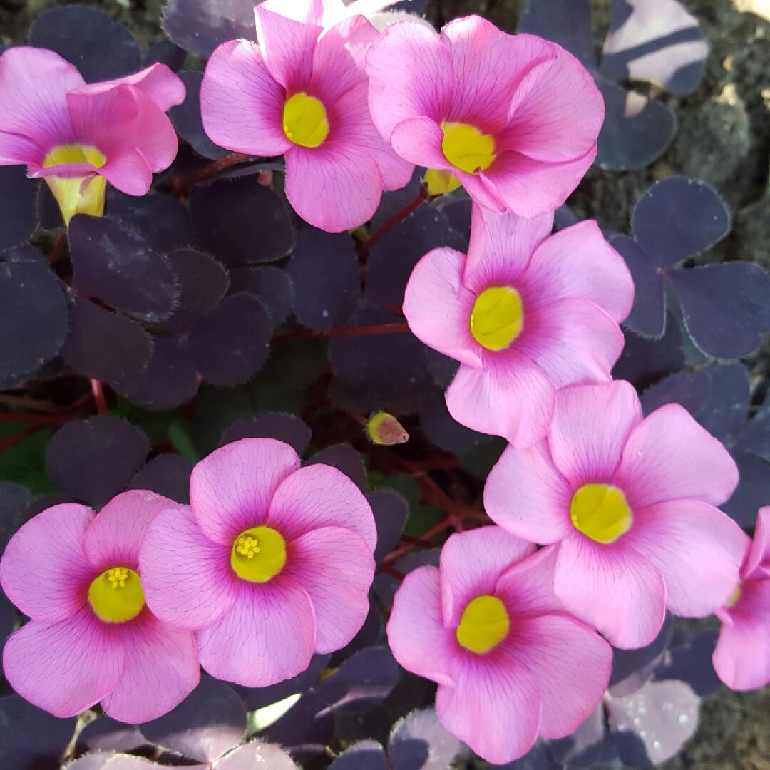 3 flowering size bulbs Oxalis purpurea ´Garnet´