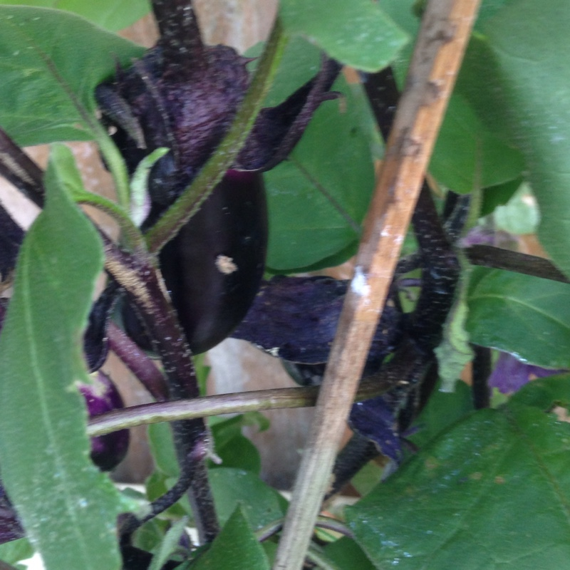 Aubergine in the GardenTags plant encyclopedia