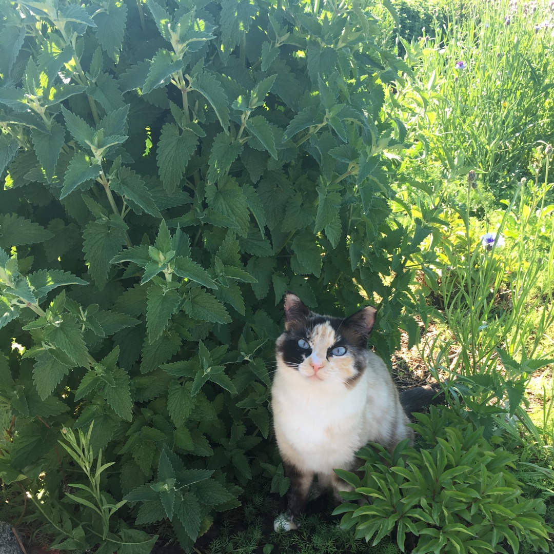 Catnip Cataria in the GardenTags plant encyclopedia