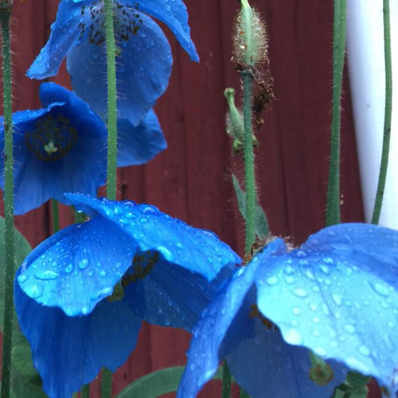 Himalayan Poppy Lingholm in the GardenTags plant encyclopedia