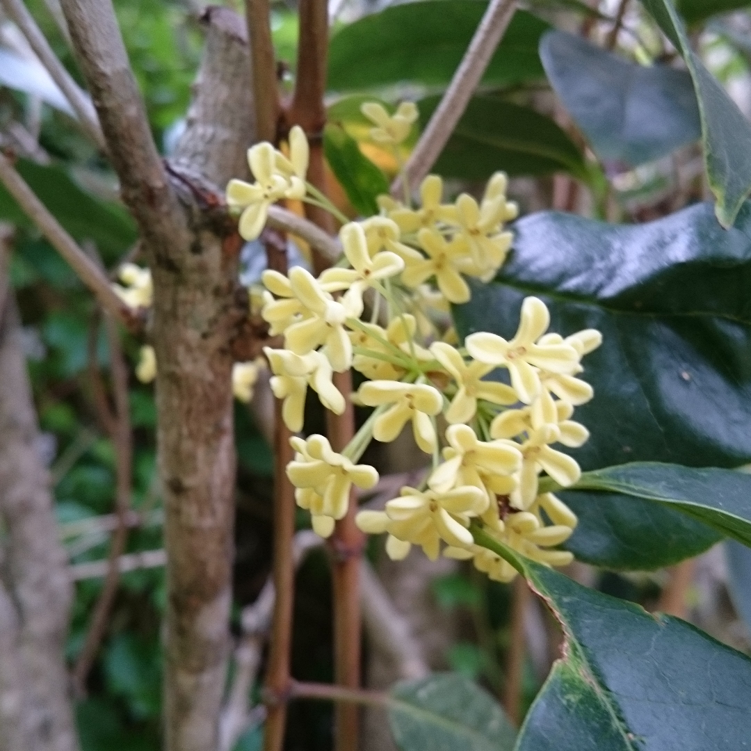 Sweet Osmanthus in the GardenTags plant encyclopedia