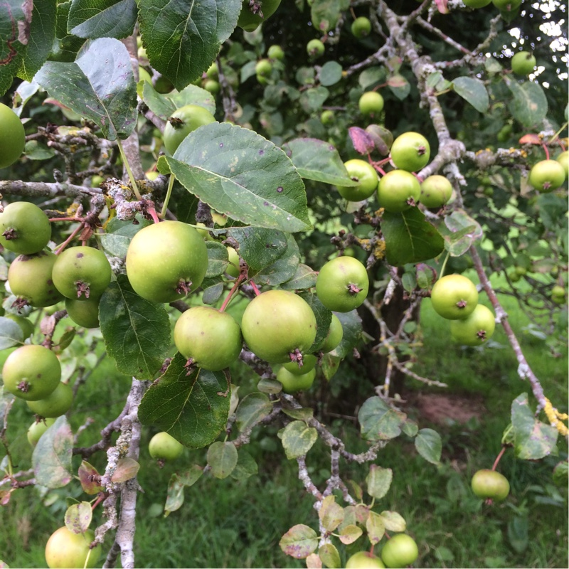 Apple Tree in the GardenTags plant encyclopedia