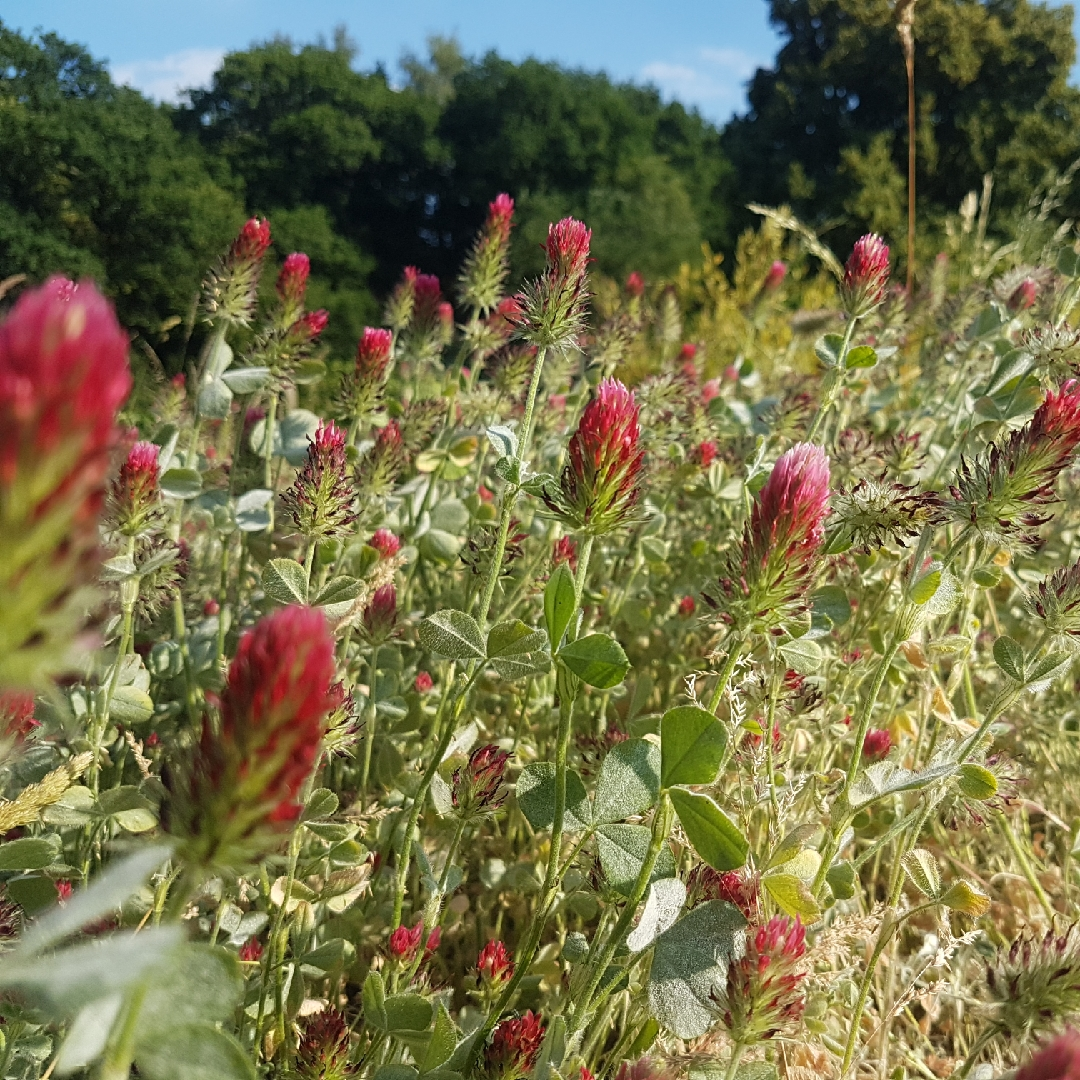 Crimson Clover in the GardenTags plant encyclopedia