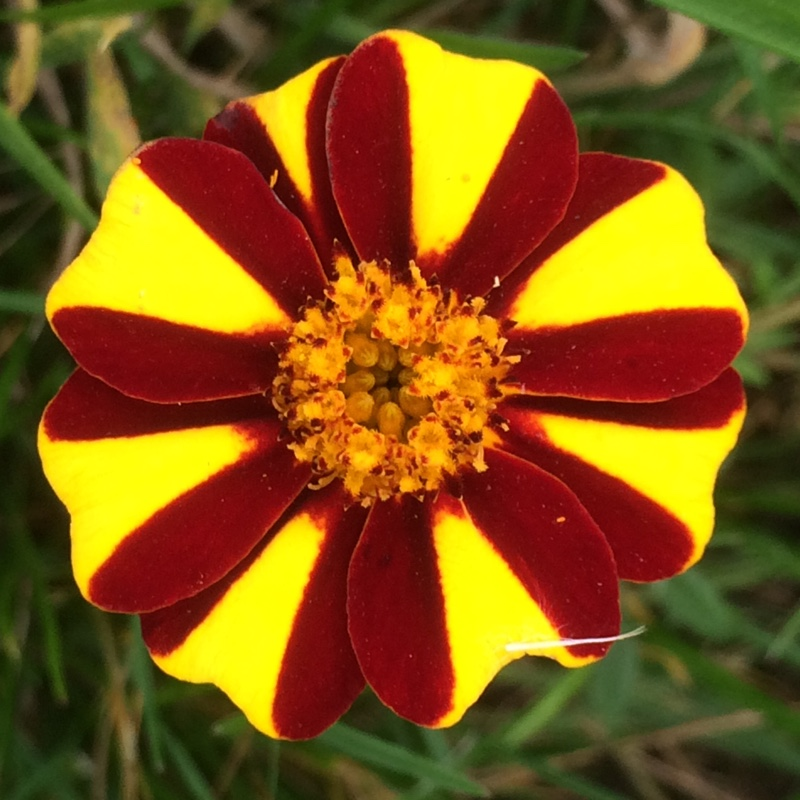 French Marigold Jolly Jester in the GardenTags plant encyclopedia