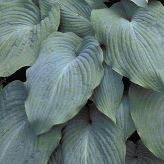 Plantain Lily Blue Angel In The Gardentags Plant Encyclopedia