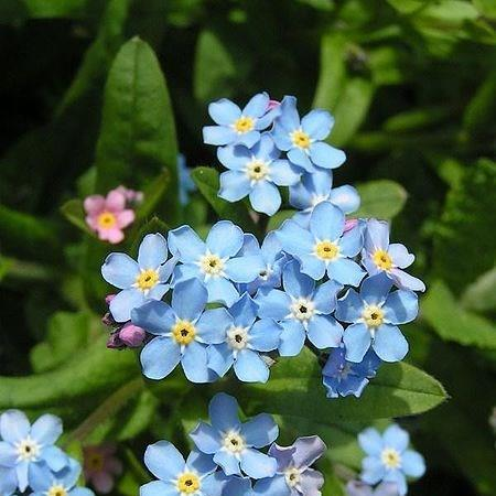 Water Forget-Me-Not in the GardenTags plant encyclopedia