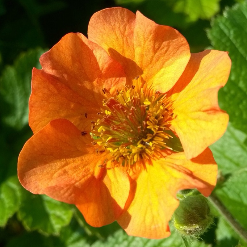 Avens Totally tangerine in the GardenTags plant encyclopedia