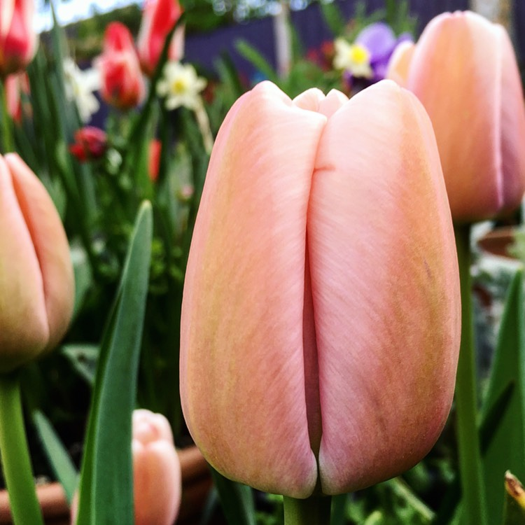Tulip Ollioules (Darwin Hybrid) in the GardenTags plant encyclopedia