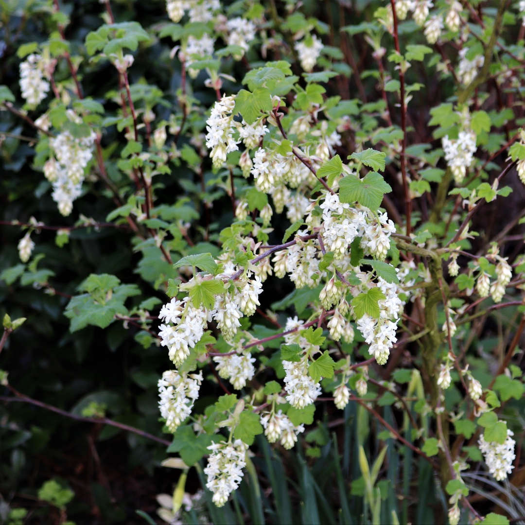 Ribes Sanguineum White Icicle Flowering Currant White Icicle In