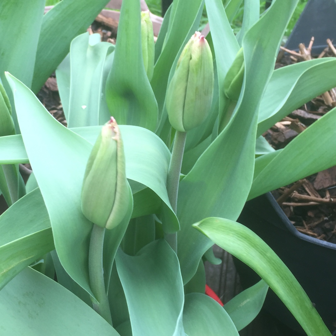 Tulip Canasta (Fringed) in the GardenTags plant encyclopedia